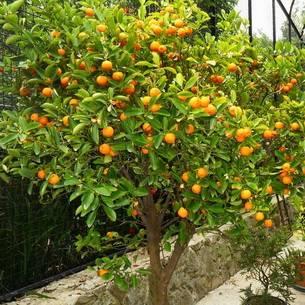 Как вырастить домашний грейпфрут из косточки
