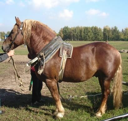 Советский тяжеловоз: описание и характеристики породы лошадей, содержание и уход