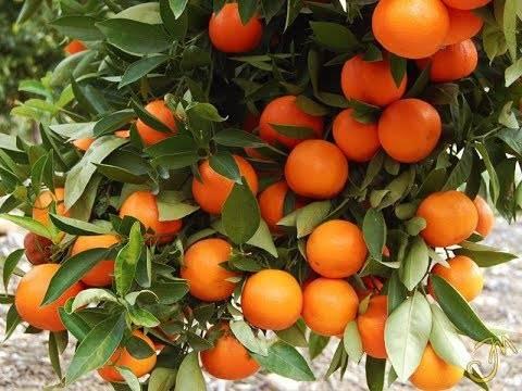 Апельсин дома или как вырастить комнатное солнышко