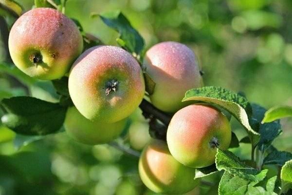 Яблоня свежесть: описание и основные характеристики сорта