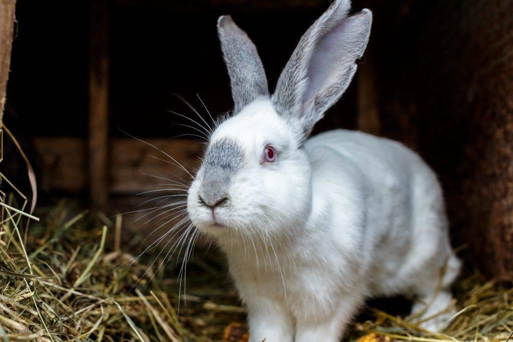 Чем полезно мясо кролика для организма человека