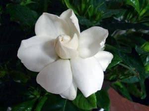 Гардения (gardenia): уход за комнатным растением