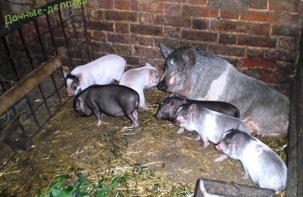 О разрешении содержать свиней в лпх для личных нужд