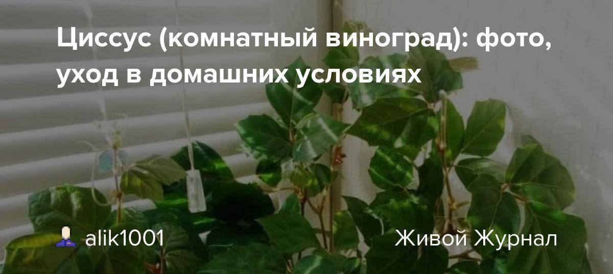 Цветок циссус (комнатная березка), уход в домашних условиях, фото