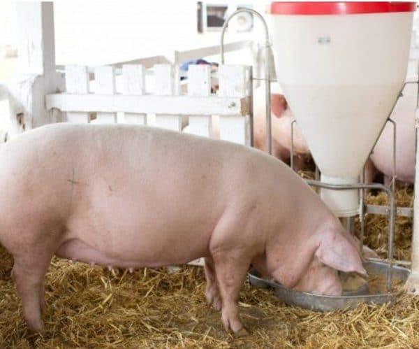 Сколько весит свинья и как рассчитать прирост по таблице