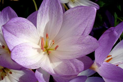 Безвременник: посадка и уход, выращивание осенью, сорта, фото