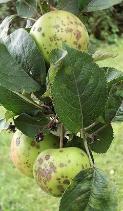 Как избавиться от парши на яблонях, как бороться с болезнью весной и не только
