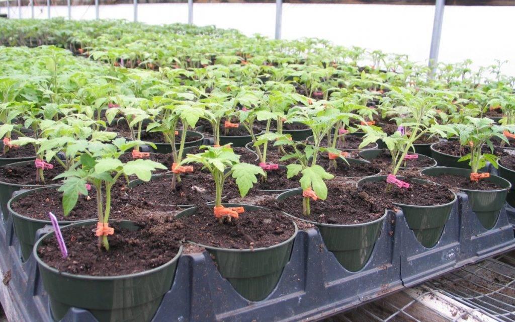 Народные средства для подкормки помидоров | спутниковые технологии