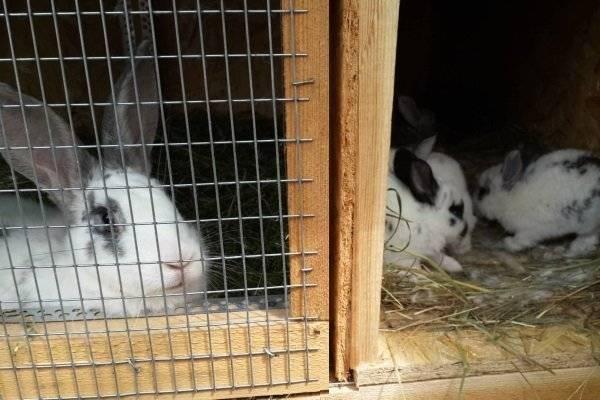 Когда отсаживать крольчат от крольчихи? выращивание кроликов
