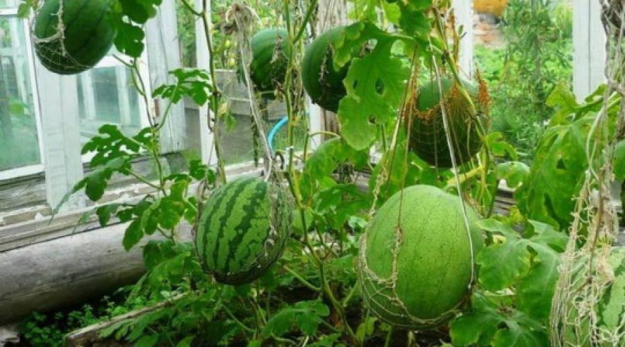 Выращивание арбузов в теплице – как достичь хорошего урожая