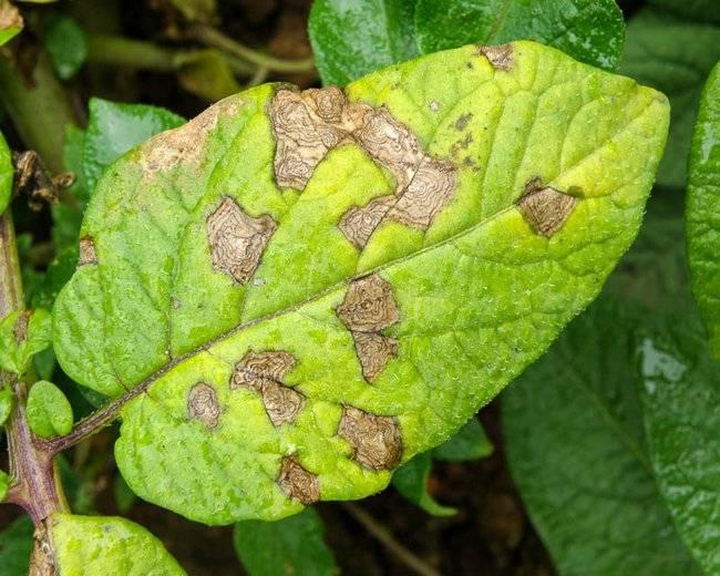 Какие бывают вредители и болезни картофеля | cельхозпортал