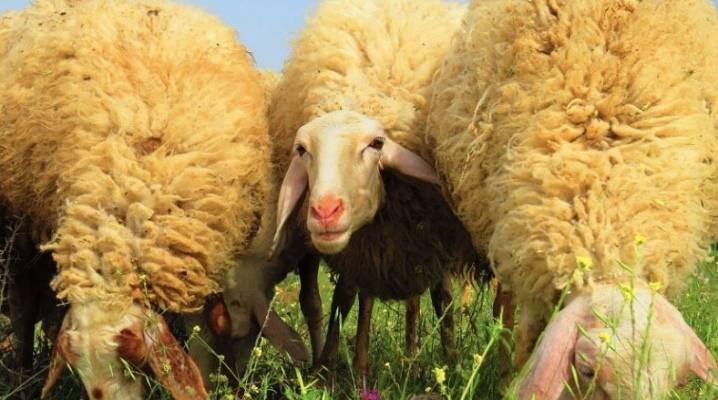 ᐉ цигайская порода овец: описание и характеристики - zooon.ru