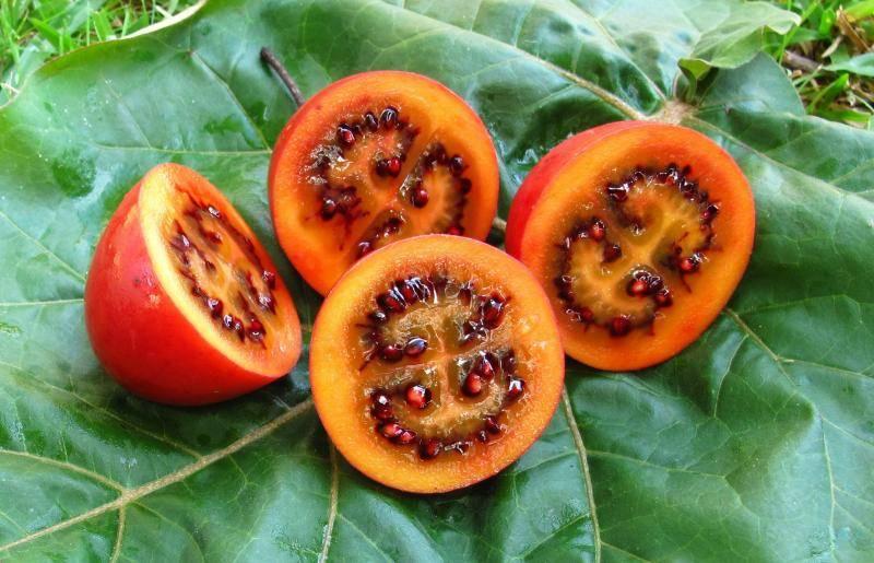 Как вырастить помидорное дерево в домашних условиях: спрут, цифомандра и другие разновидности, отзывы, фото и видео
