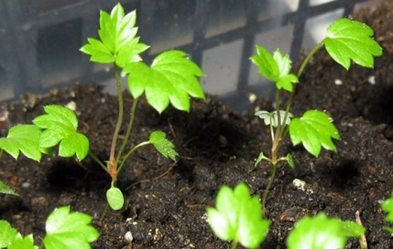 Как вырастить клубнику - садовую землянику из семян. садовник – для всех, у кого есть  дачный участок, сад, огород или дом