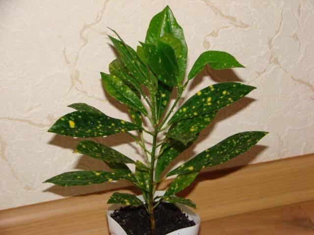 Кодиеум (codiaeum) или кротон – уход и размножение. | floplants. о комнатных растениях