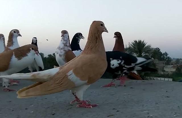 Торцовые голуби какие породы умеют торцевать - дневник садовода amparagroup.ru
