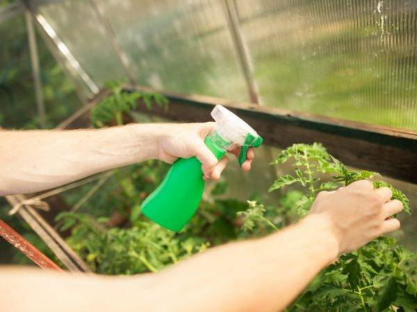 Применение перекиси водорода для помидор: подкормка и обработка томатов от фитофторы в теплице и открытом грунте, как лучше подкормить - полить или опрыскать