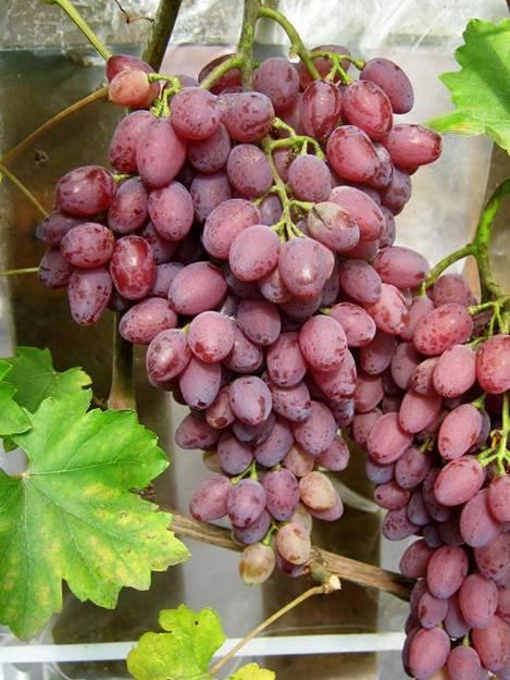 Кишмиш лучистый виноград: описание и характеристика сорта, лучший плодовый