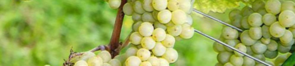 Описание винограда «дружба», как универсального сорта.