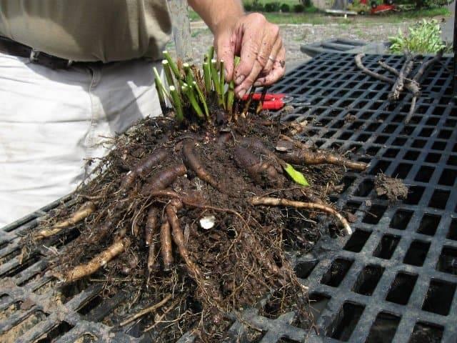 Тонкости ухода и посадки пионов в открытом грунте – как вырастить шикарные цветы?
