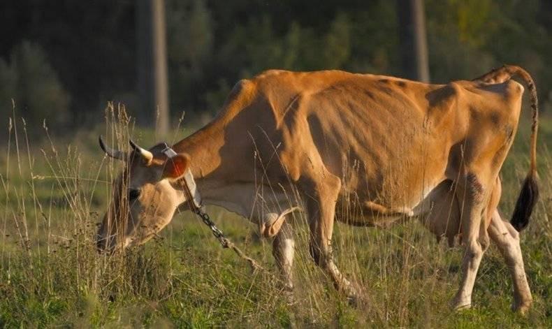 Злокачественная катаральная горячка крс - болезни коров