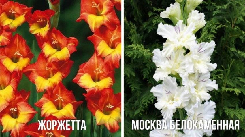 Гладиолусы — цветы, которые никогда не выйдут из моды