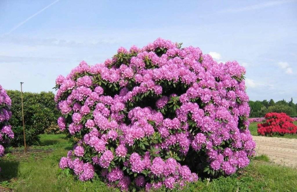 Рододендроны: посадка, выращивание и уход, все про размножение