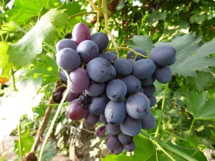 50 фото черного винограда 28 лучших сортов ранних, поздних, среднеспелых с названием и описанием