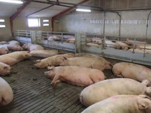 Самый эффективный откорм свиней в домашних условиях: технология и рацион питания