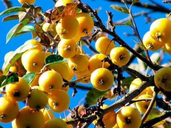 Яблоня китайка золотая ранняя: описание сорта, фото, посадка и уход