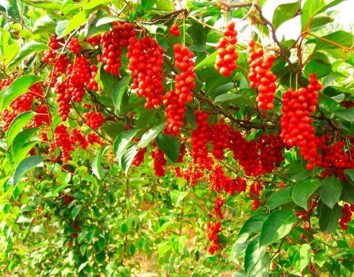 Ягода пяти вкусов — лимонник китайский. посадка, выращивание, уход. сорта. фото — ботаничка.ru