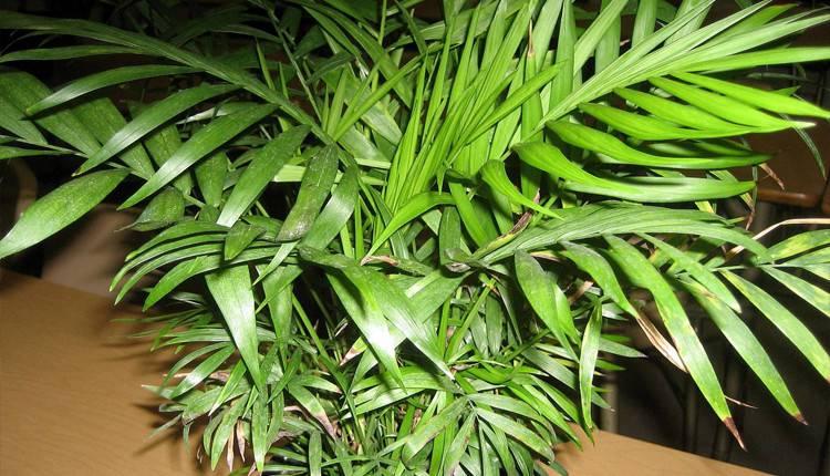 Хамедорея — выращивание бамбуковой пальмы в домашних условиях