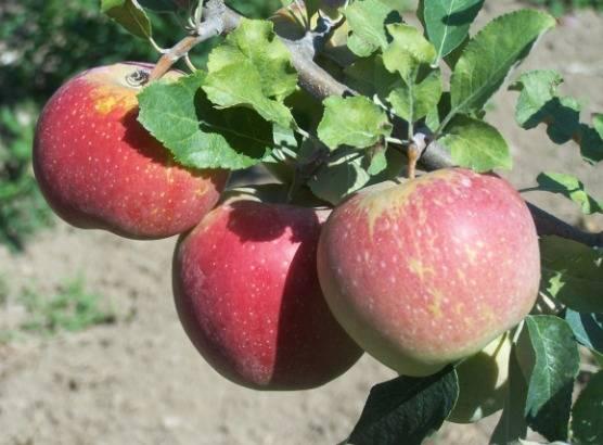 Описание сорта яблони пинова: фото яблок, важные характеристики, урожайность с дерева