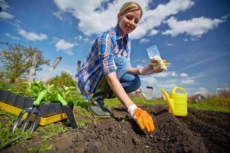 Свекла — выращивание и уход в открытом грунте