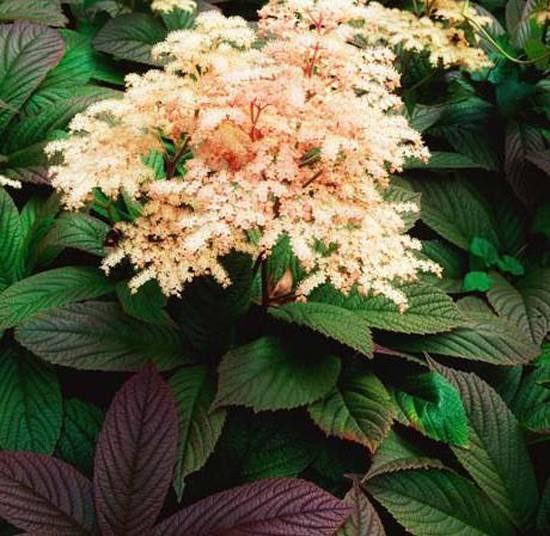 Растение роджерсия: фото, виды, выращивание, посадка и уход в открытом грунте