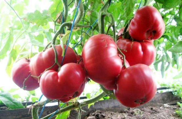 Томат «розовый мед»: фото, характеристики сорта, урожайность, отзывы