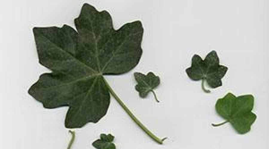 Плющ, или хедера: посадка и уход. растения партнеры для плюща садового | огородники