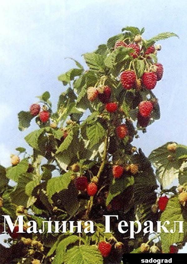 Малина геракл: описание сорта, отзывы, фото, уход и выращивание