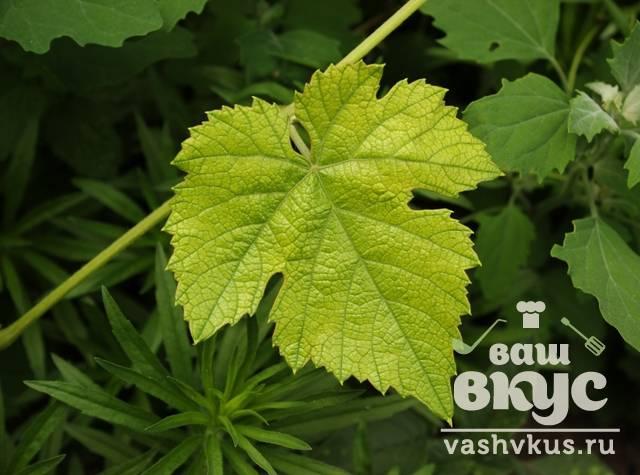 Виноградные листья - описание, состав, калорийность и пищевая ценность - patee. рецепты