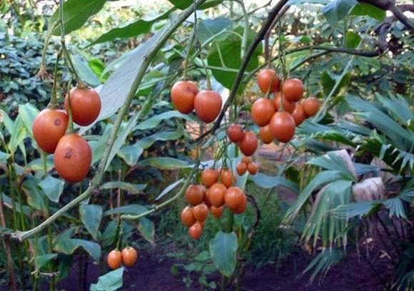 Томат цифомандра: характеристика и описание сорта, фото семян сибирский сад, отзывы об урожайности помидоров