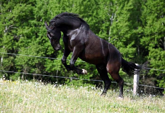Лошади кладрубской породы: история, описание, особенности | мои лошадки