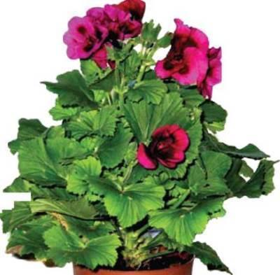 Королевская герань: как укоренить черенки и можно ли высаживать домашнее растение семенами на улицу, а также фото сортов комнатной пеларгонии с названиями русский фермер