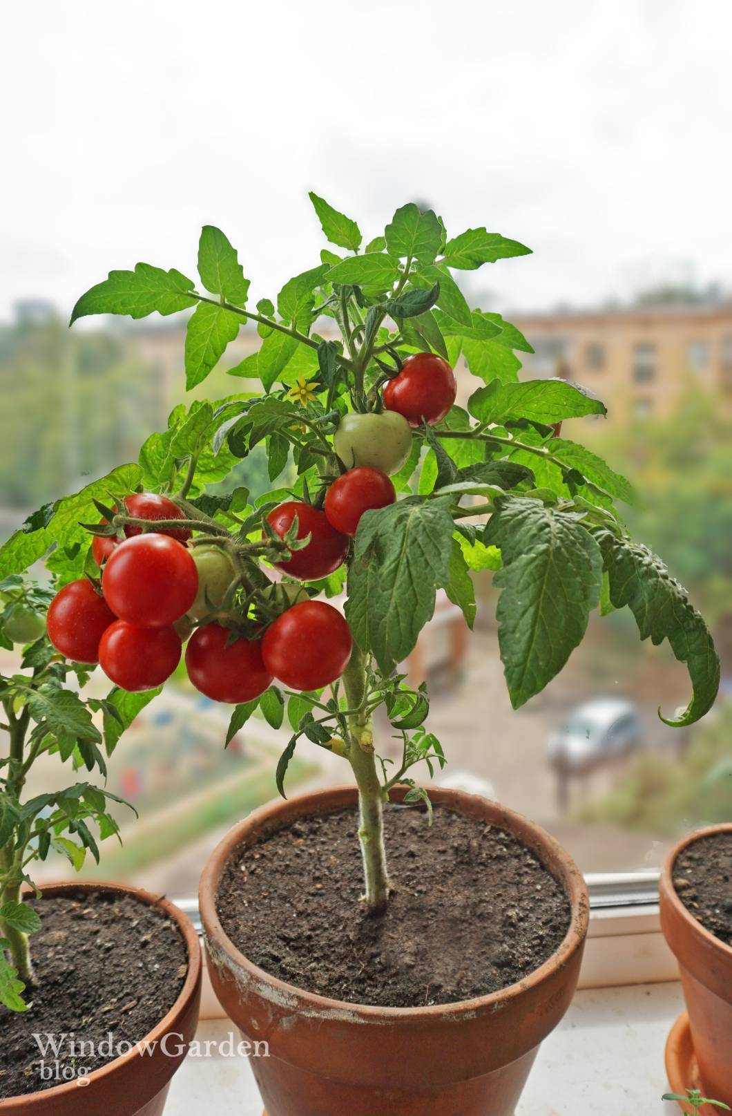 Низкорослые сорта томатов для открытого грунта: 30 сортов с описанием