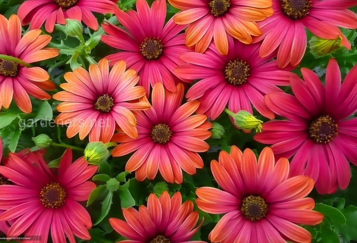 Цветы остеоспермум: описание, особенности выращивания и ухода, фото - sadovnikam.ru