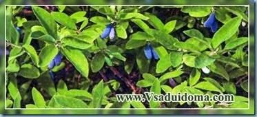Секреты посадки жимолости съедобной в открытый грунт осенью и весной