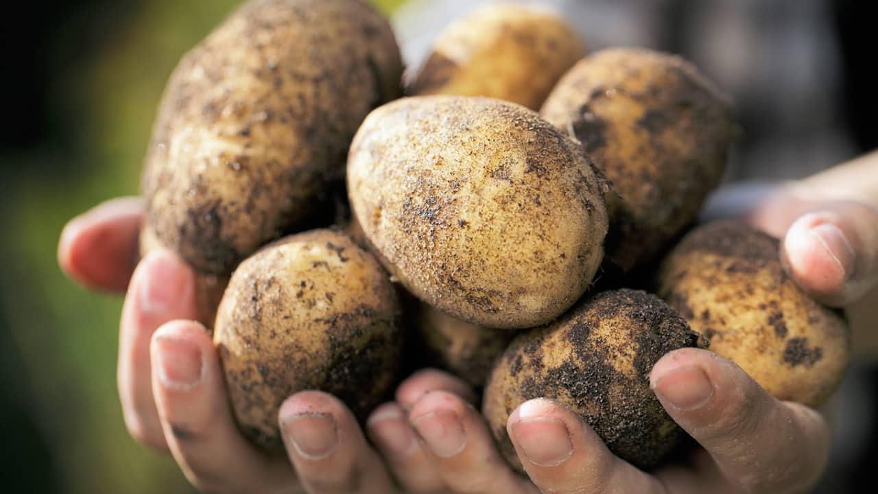 Удобрение для картофеля: какие бывают и как использовать