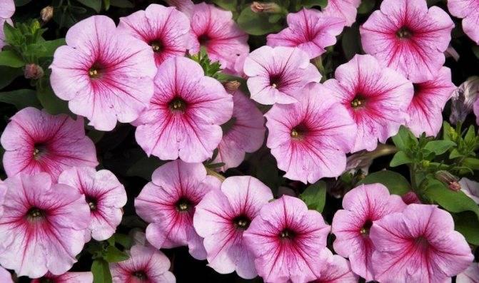 Пышно цветущая вегетативная петуния: сорта, размножение и уход
