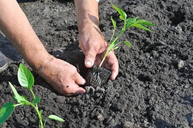Посадка перца на рассаду на урале: как и когда садить, оптимальные сроки выращивания, высадка и уход в открытом грунте русский фермер