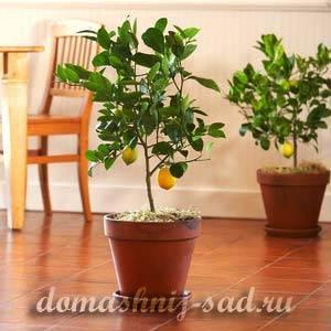 Как ухаживать за лимоном, растущим в домашних условиях в горшке