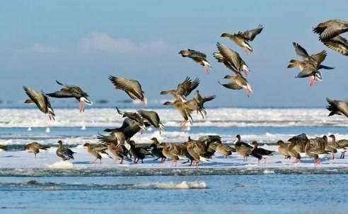 Проведение весенней и осенней охоты на гуся